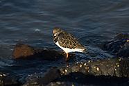Vogels - Steenloper | Birds - Ruddy Turnstone