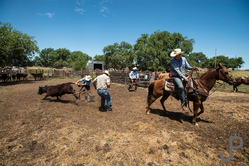 Woodward, OK - Branding cattle at Howard Ranch with owner Justin Howard.