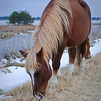 A Chincoteague pony (Equus ferus caballus) feeds in the snow with marshes in the background, Chincoteague National Wildlife Refuge, Assateague Island, Virginia.