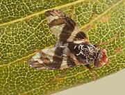 Gall-maiking fly; Procecidochares atra; from goldenrod; PA, Philadelphia, Schuylkill Center; 4mm