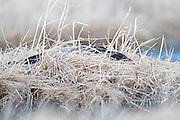 Black Brant; Branta bernicla nigricans, female on nest, Yukon Delta NWR, Alaska