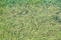 Reeds floating on the surface of a mountain pond, Washington Cascades, USA.