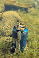 Zebra Mussels attached to beer can<br />