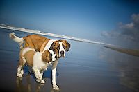 Gearhart, Oregon. Saint Bernard mama with her puppy on the beach.  St Bernard.