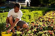 Organic farmer, Dave Bell harvesting spring greens at his farm in Draper, Utah.