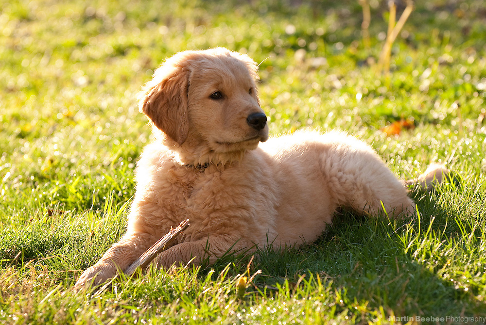 A 10-week-old golden retriever puppy lies in the grass