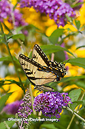 03023-02713 Eastern Tiger Swallowtail butterfly (Papilio glaucus) on Butterfly Bush (Buddleia davidii) Marion Co., IL