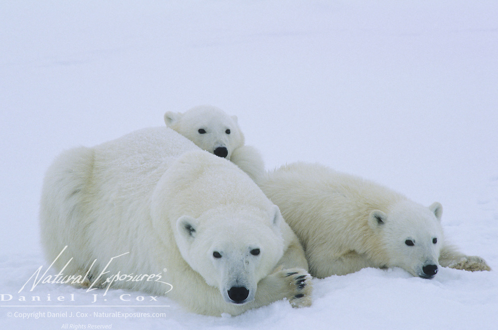 Polar Bear (Ursus maritimus) portrait of a mother and her cubs resting. Hudson Bay, Canada