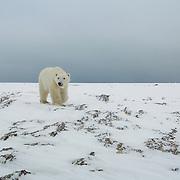 Sub-adult polar bear (Ursus maritimus) walking along Hudson Bay near Churchill, Manitoba. Canada.