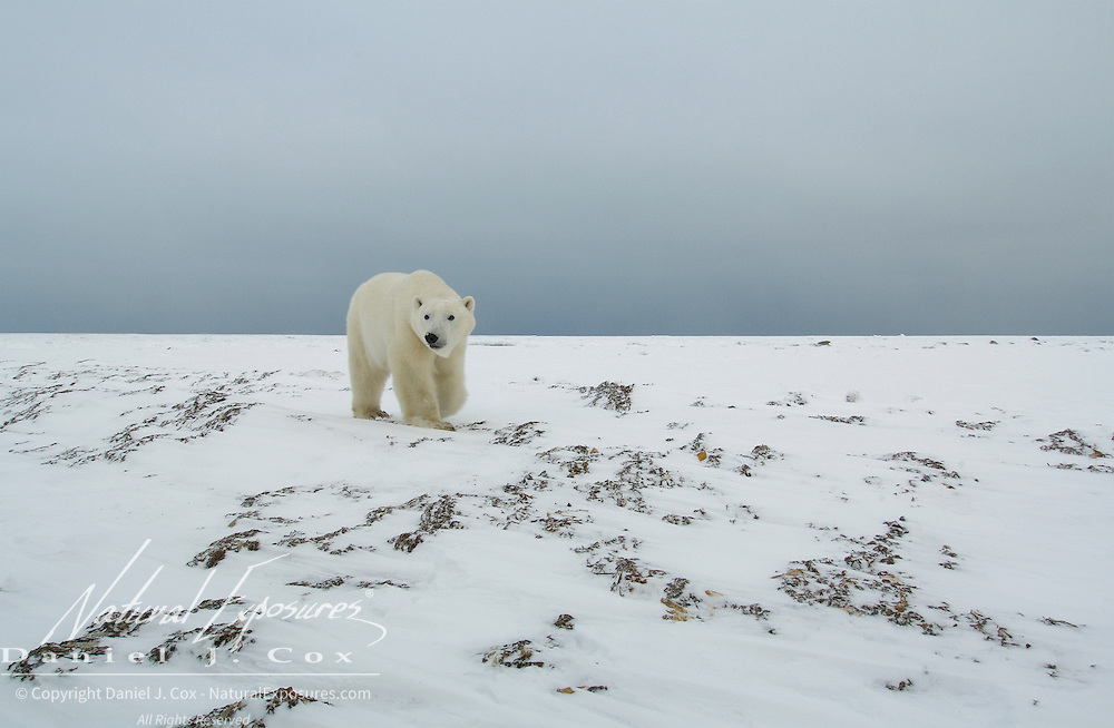 Sub-adult polar bear (Ursus maritimus) walking along Hudson Bay near Churchill, Manitoba. Canada.