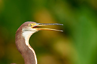 Tricolored Heron (Egretta tricolor), Arthur R Marshall National Wildlife Reserve - Loxahatchee, Florida, USA