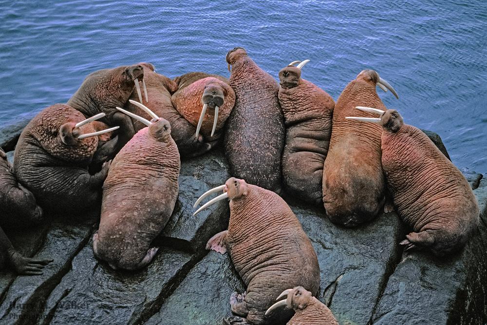 Bull walrus (Odobenus rosmarus); hauled out on rocks at Round Island; Walrus Islands State Game Sanctuary; western Alaska