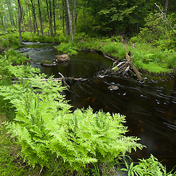 Royal Ferns on the banks of Muschopauge Brook in Holden, Massachusetts.  Worcester County.