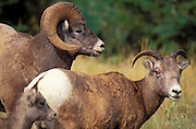 Family of bighorn sheep (Ovis canadensis), Jasper National Park, Alberta, Canada