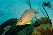 Butter Hamlet (Hypoplectrus unicolor)<br /> BONAIRE, Netherlands Antilles, Caribbean<br /> HABITAT & DISTRIBUTION: Bottom of reefs within territory<br /> Florida Keys, Bahamas & Caribbean.