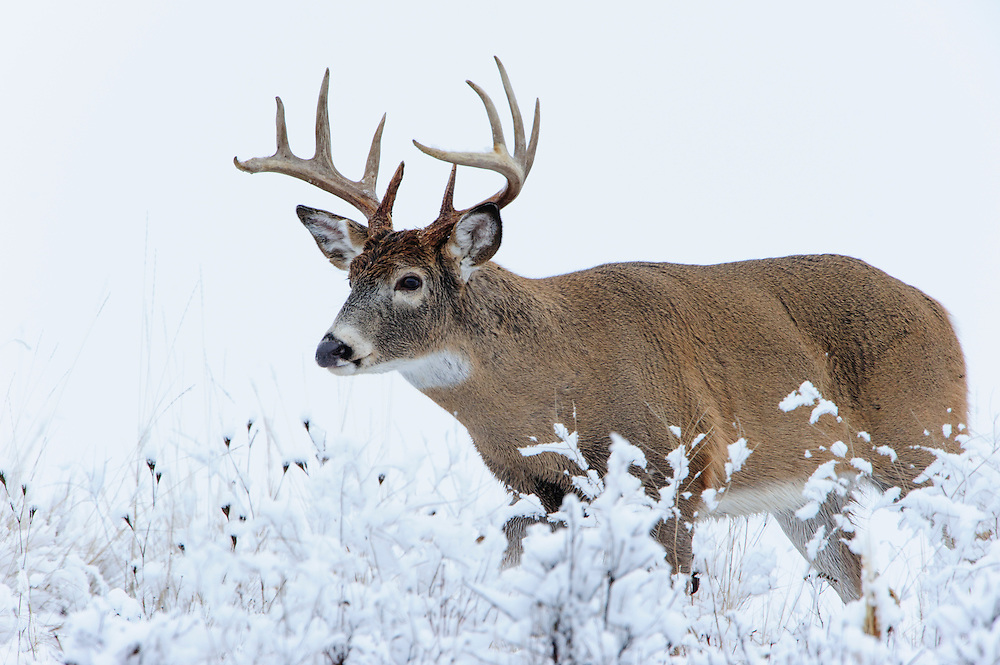 White-tailed deer buck in snow, Western US