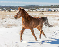Arabian horse with winter coat running in fresh snow, © 2009 David A. Ponton [[Prints to 8x10, 16x20, 24x30, or 40x50 in. with no cropping]