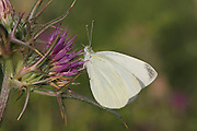 The Large White or Cabbage White (Pieris brassicae) Butterfly shot in Israel, Spring April