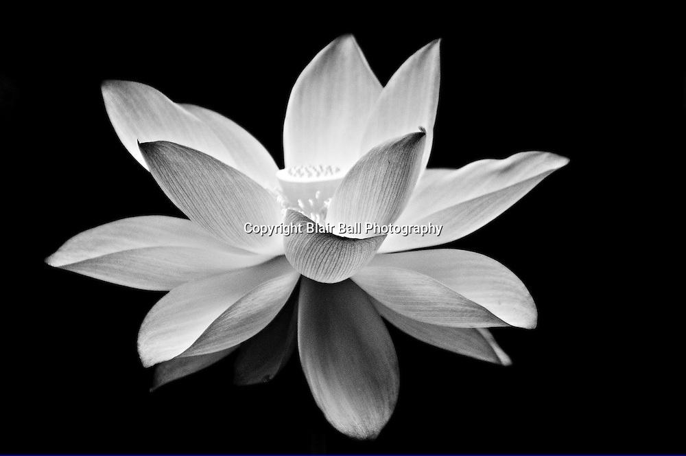 Lotus Flower floating on water on Reel Foot Lake.