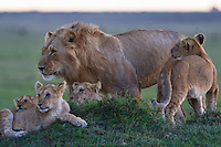 Kenya - Maasai Mara - Lion - Panthera leo - This subadult male is surrounded by the younger cubs,menaced by the presence of newcoming adult males who took over the pride, these cubs fate was uncertain despite their protective brothers.
