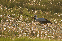 White stork (Ciconia ciconia) adult backlit in flower meadow in early morning light. Lithuania. Mission: Lithuania, May 2009.