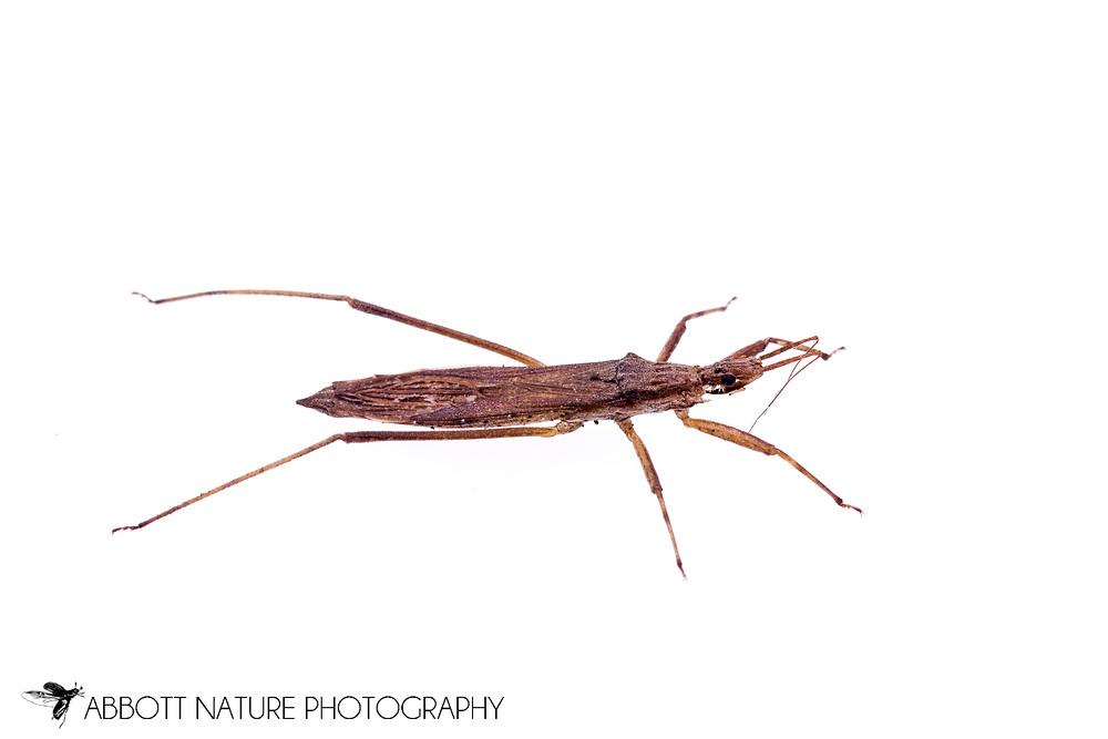 Assassin Bug (Pygolampis pectoralis)<br /> TEXAS: Jasper Co.<br /> Brookeland/Lake Sam Rayburn KOA @ 505 Co Rd 212<br /> 31.141606, -93.994174<br /> 23.May.2015<br /> J.C. Abbott #2733 &amp; K.K. Abbott