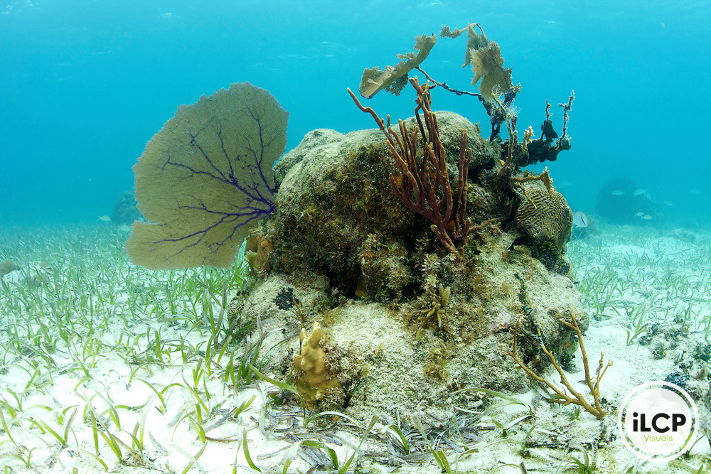 An example of a damaged, or stressed Patch Reef.  Within the image on the left is a healthy sea fan. In contrast on the right is a dead sea fan.   The large hard coral in the center of the images is covered with sediments and algae.  Coral reefs are under environmental pressure world wide.