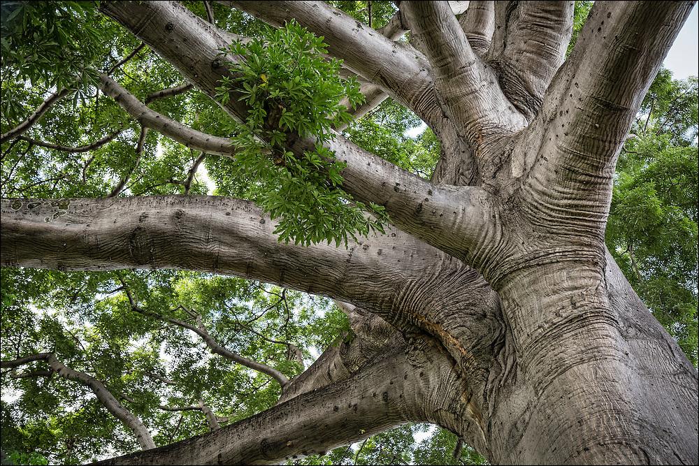 Branches of Kapok tree.  ©PF Bentley