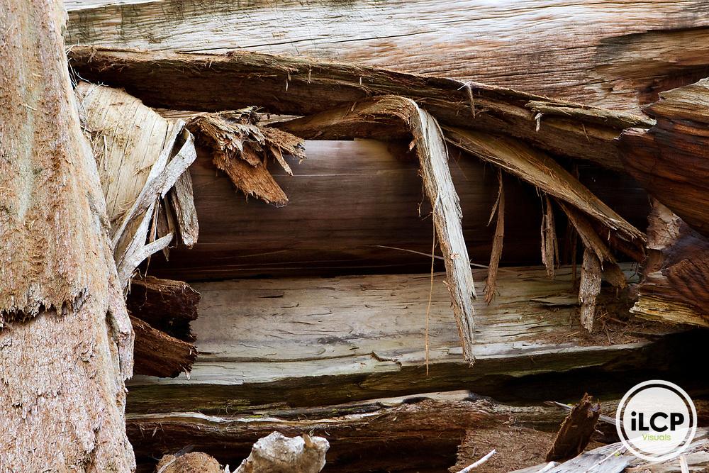 Giant Sequoia (Sequoiadendron giganteum) fallen tree, Sierra Nevada, Sequoia National Park, California