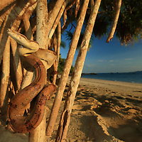 2015 Coiba Bioblitz, organized by International League of Conservation photographers photographer Christian Ziegler. <br /> <br /> Image from Bioblitz - an expedition with 30 biologists to assess the biodiversity of Coiba's forets. <br /> <br /> juvenile boa on teh Coibita beach.