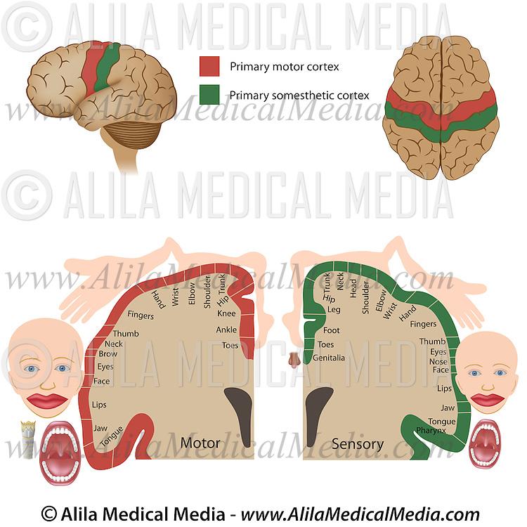 Motor and sensory somatotopy of the brain   Alila Medical ...
