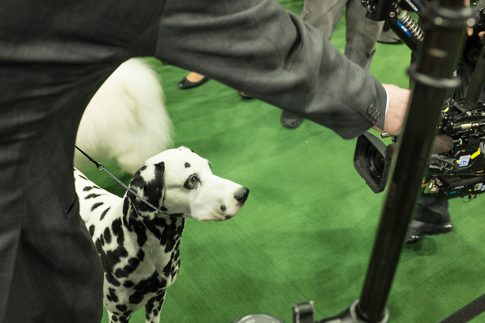 New York, NY - 16 February 2015. Dalmation Merry Go Round Coach Master, known as Flame, is attentive to a treat held by his owner while a video camera focuses on him at the Westminster Kennel Club Dog Show.