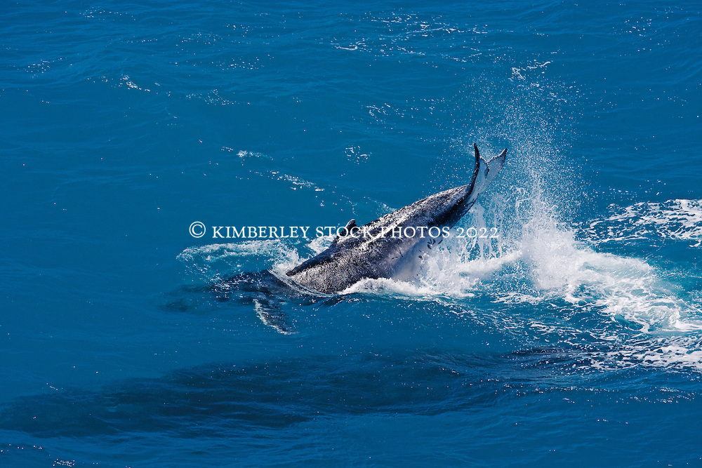 A young humpback whale calf tail slapping off Broome's Cable Beach as its mother swims just under the surface.