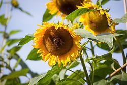 Bee on Helianthus annuus. Sunflowers against blue sky