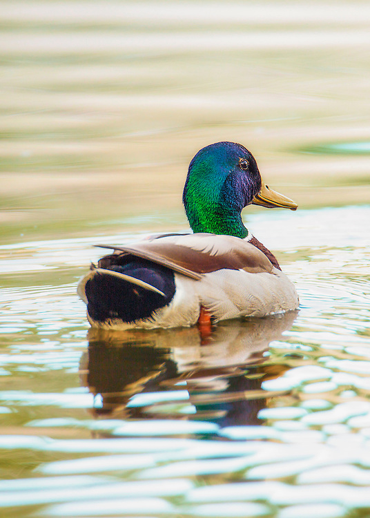 A colorful Mallard Duck swimming in the lake from behind