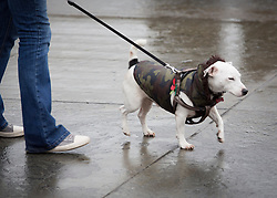 © Licensed to London News Pictures. 11/11/2013. Alfie a 2 year old rescue dog sports his poppy as he attends the sixth annual Silence in the Square event in Trafalgar Square.  The Royal British Legion organise the event to commemorate Armistice Day and join the nation in observing a 2 minute silence.    Photo credit: Alison Baskerville/LNP