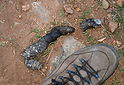 Mountain lion scat near Kentucky Camp in the Santa Rita Mountains, Sonoran Desert, Coronado National Forest, Sonoita, Arizona, USA.