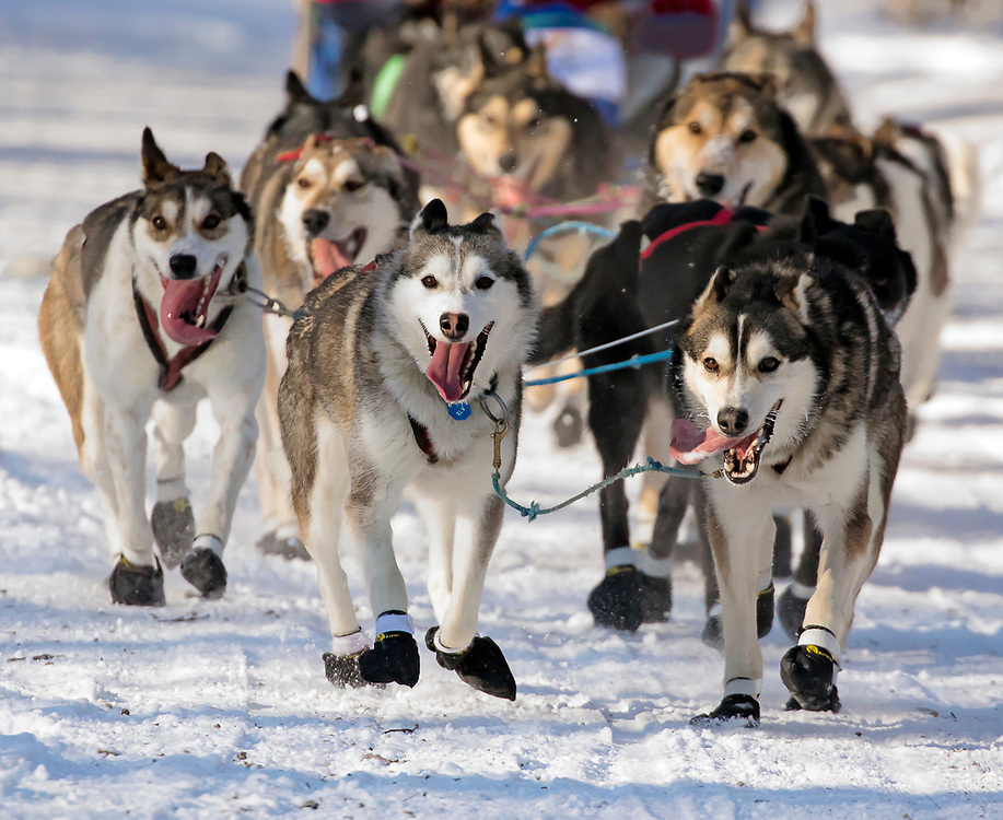 Alaska. Dog team of Paul Hansen of Kotzebue running through trails of Anchorage during the 2017 Iditarod Ceremonial start, Anchorage.