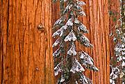 Giant Sequoias (Sequoiadendron giganteum) in winter, Giant Forest, Sequoia National Park, California