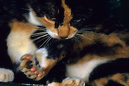 """USA, Vereinigte Staaten Von Amerika: Hauskatze (Felis catus domesticus), Felidae, polydactyl Katze ?Denise? säubert ihre sechszehige Pfote. Polydactyl Katzen haben sechs oder sieben Zehen anstelle von vier oder fünf. Sie werden ?Mitten-cat? (Fausthandschuh, Fäustlinge) oder ?Bigfoot?s? genannt. In der neuen Welt wurden polydactyl Katzen auf Schiffen eingesetzt, sie standen für Schicksal und Glück. In Europa gibt es keine polydactyl Katzen. Während des dunklen Mittelalters wurden diese ungewöhnlichen Katzen in Verbindung mit Hexen und bösen Ereignissen gebracht und so überlebten sie nicht, Hemingway Haus und Museum, Key West, Florida   USA, United States Of America: Domestic cat (Felis catus domesticus), Felidae, polydactyl cat """"Denise"""" cleaning her six-toed paw. Polydactyl cats have six or seven toes istead of four or five. They are called """"Mitten-cats"""" or """"Bigfoot's"""". In the New World polydactyl cats were used on ships, they were standing for fortune and luck. In Europe polydactyle cats are not existing. During the dark Middle Age these unusual cats were brought into relationship with witches and bad events and they didn't survive, Hemingway Home and Museum, Key West, Florida  """
