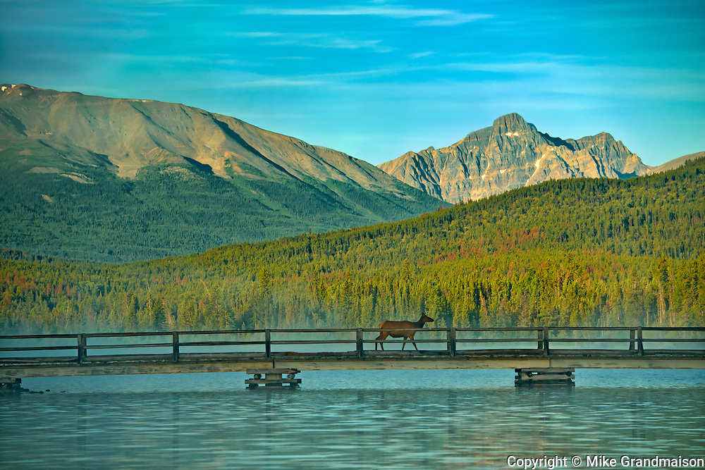 Elk crossing the bridge on Pyramid Lake with the Canadian Rockies in the background<br />Jasper National PArk<br />Alberta<br />Canada