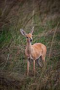 other gazelle