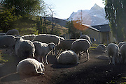 Sheep ready for shearing in estancia Nibepo Aike, southern Patagonia.