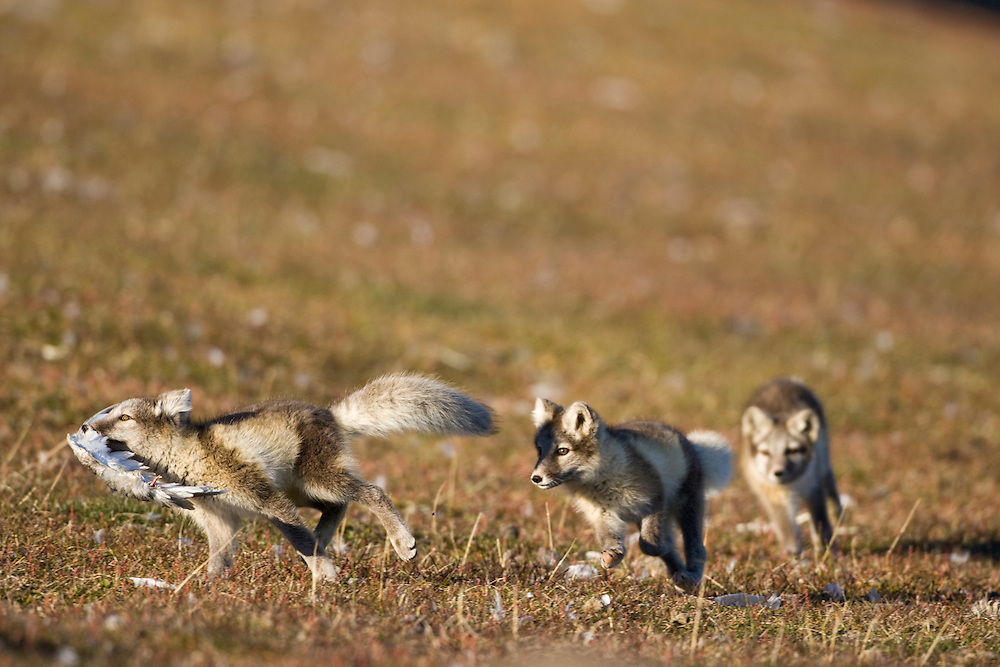Norway, Svalbard, Edgeoya Island, Arctic Fox (Vulpes lagopus) Kits playing with remains of bird kill on tundra along Diskobukta Bay