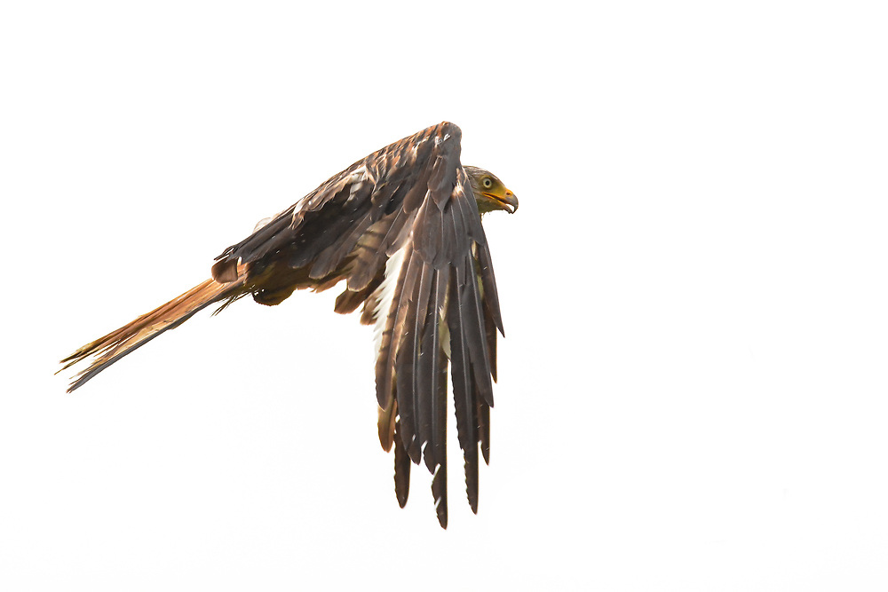Red Kite on isolated background