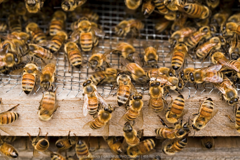 Honeybees (Apis mellifera) at the entrance of a Langstroth hive box.