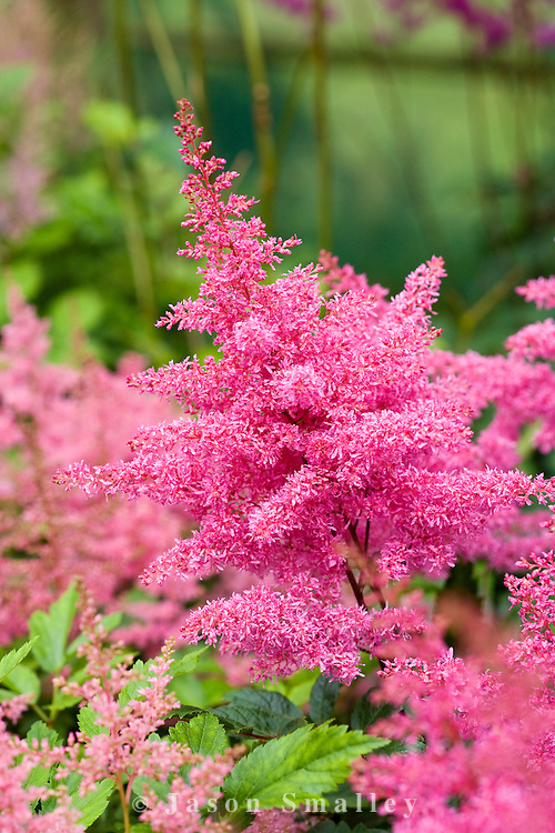 Astilbe arendsii 'Rythym and Blues'