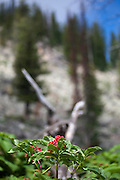 Sorbus americana, mountain ash berries, Jenny Lake Trail, at Grand Teton National Park, Wyoming