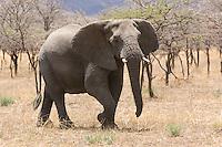 Elephant (Loxodonta africana) in savannah