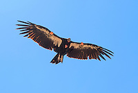 California condor (Gymnogyps californianus),Zion National Park, located in the Southwestern United States, near Springdale, Utah.